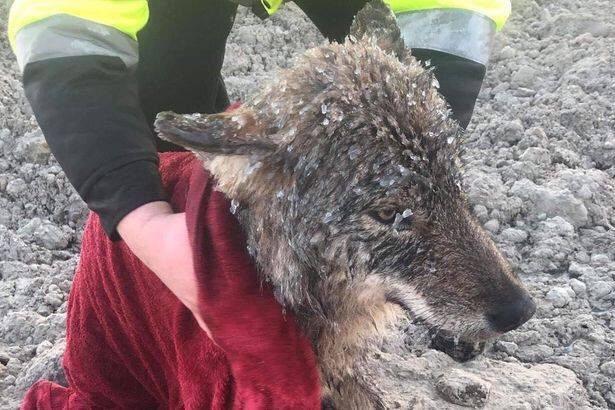 Estland: Trodde de reddet en hund fra drukning, men det var en ulv 1