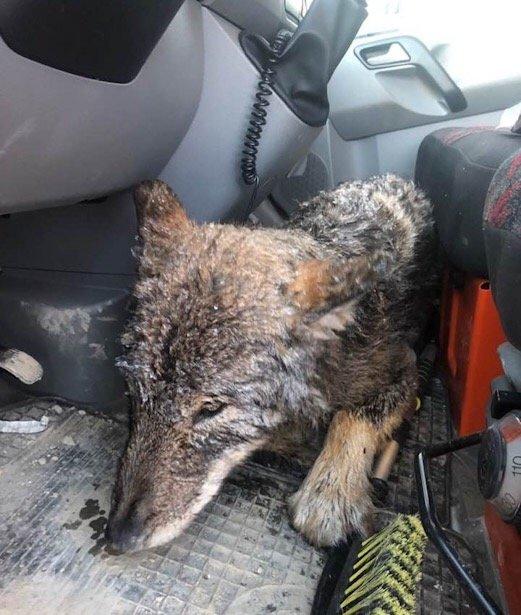 Estland: Trodde de reddet en hund fra drukning, men det var en ulv 2