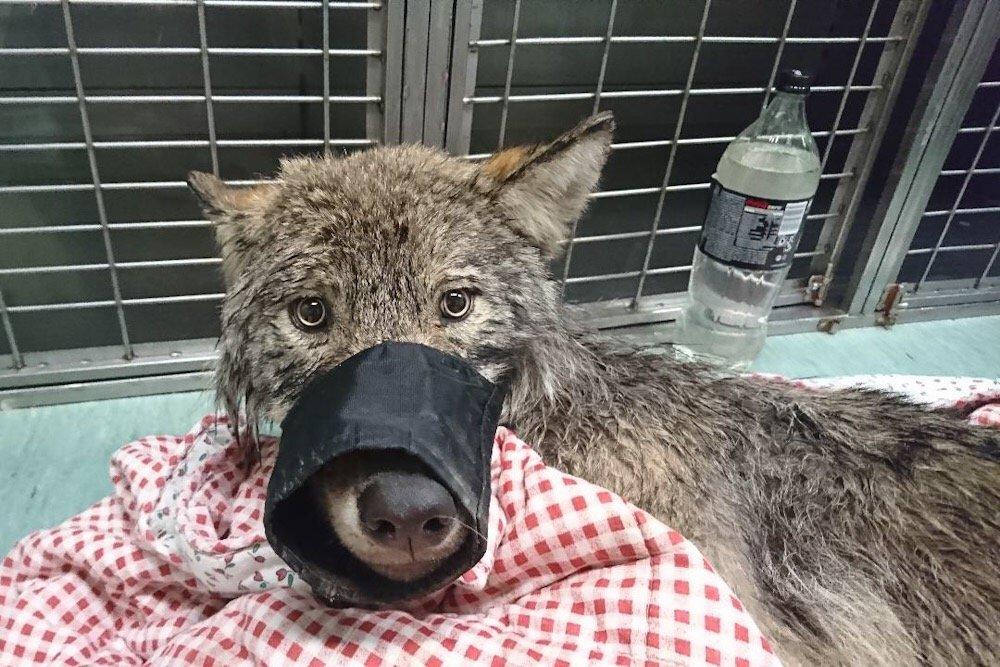 Estland: Trodde de reddet en hund fra drukning, men det var en ulv 3