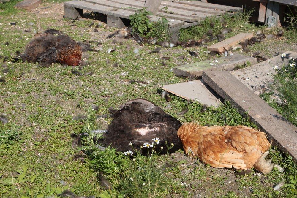 Fiskum: Løs hund drepte høner for fote 2